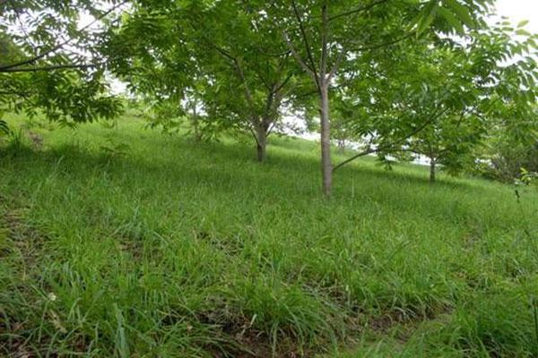 林下种植牧草
