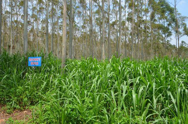 树林里种植牧草