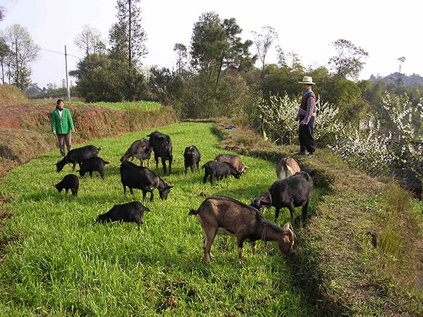 种植牧草养羊