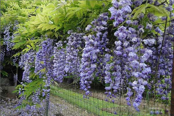 日本多花紫藤八重黑龙