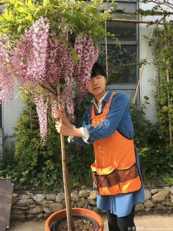 紫藤品种白玉藤