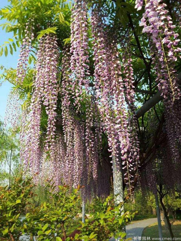 花穗最长的紫藤-三尺藤