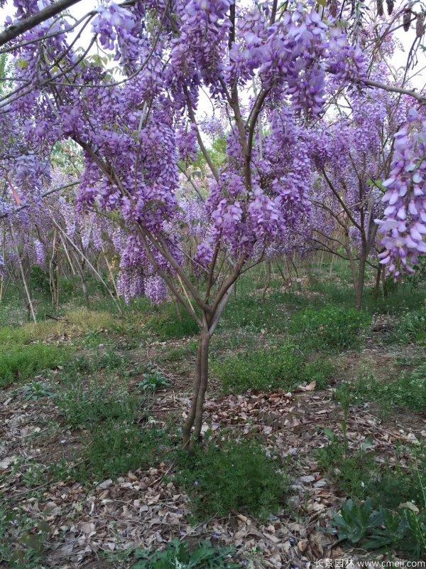 丰花型紫藤树苗基地