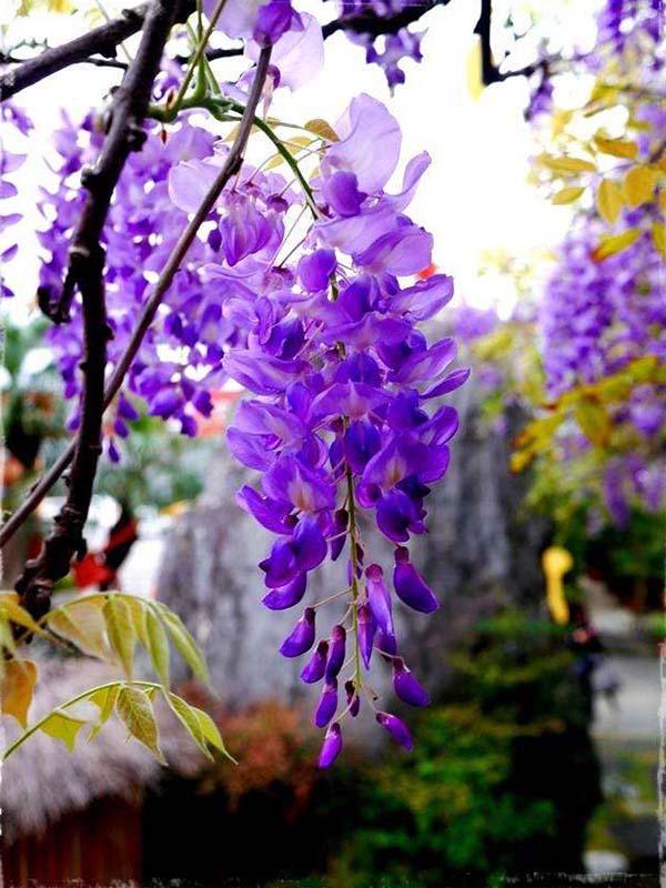 白玉藤紫藤新品种