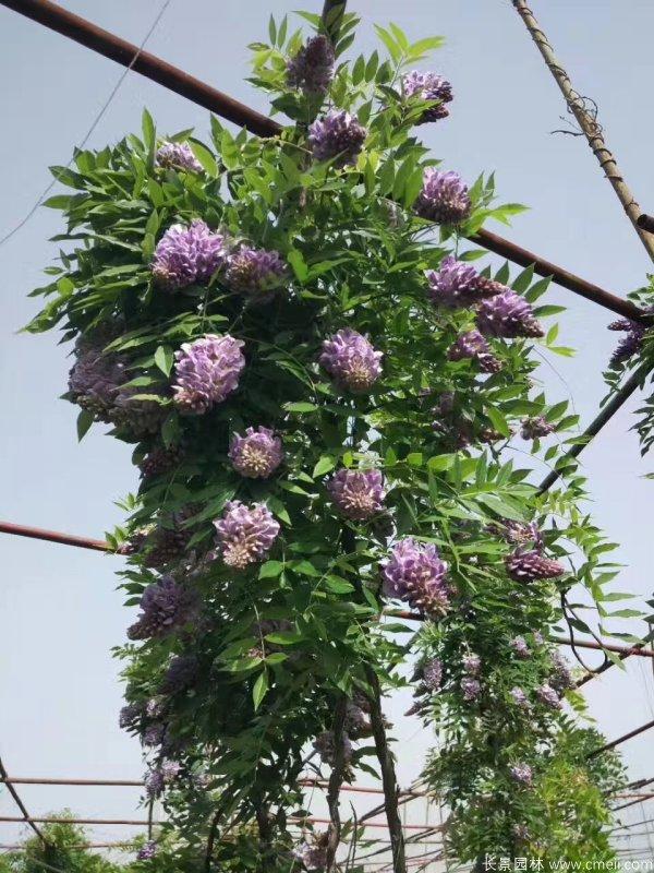 丰花型紫藤树