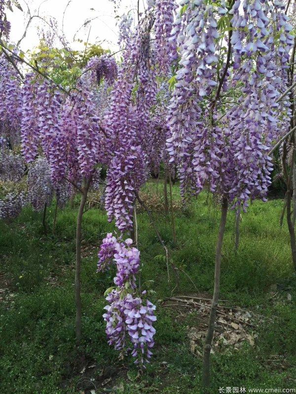 紫藤树苗基地