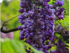 紫藤品种图片