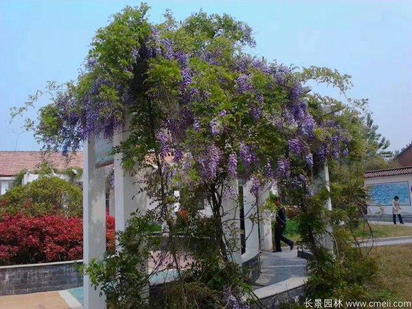 紫藤长廊实景图片