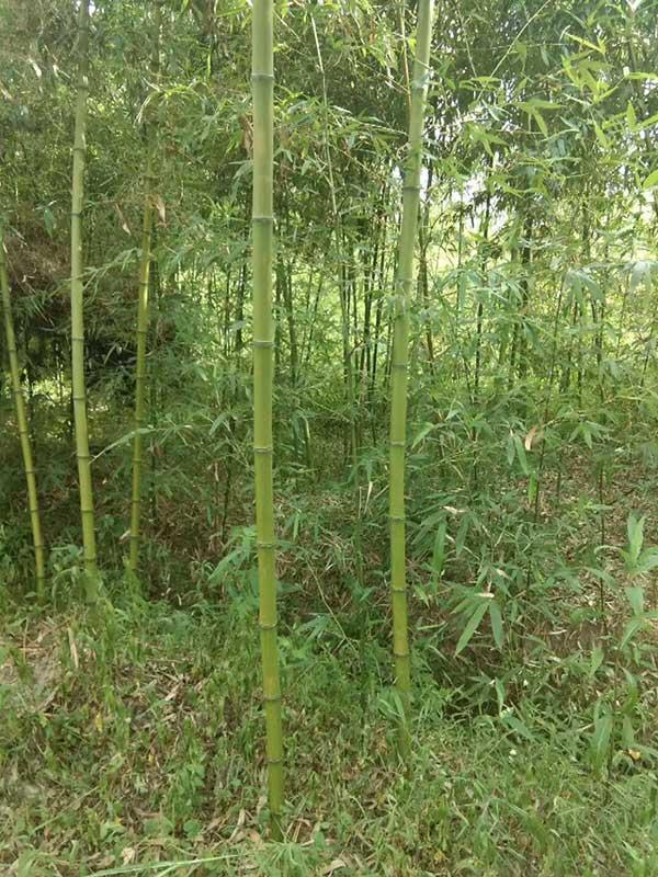 四季常绿竹子竹苗
