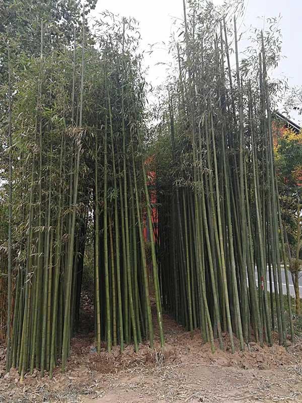 早园竹齐发国际登录植物
