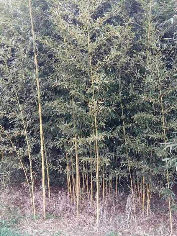 金镶玉竹苗竹子
