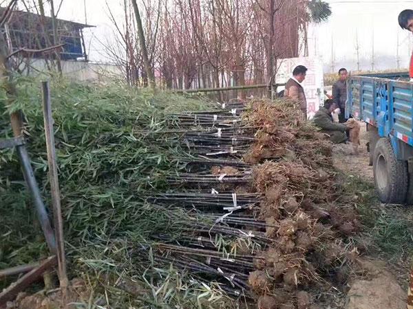 紫竹苗园林植物竹子