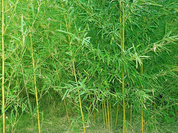 早园竹苗竹子园林植物