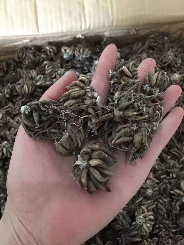 花毛茛种球种苗种根图片