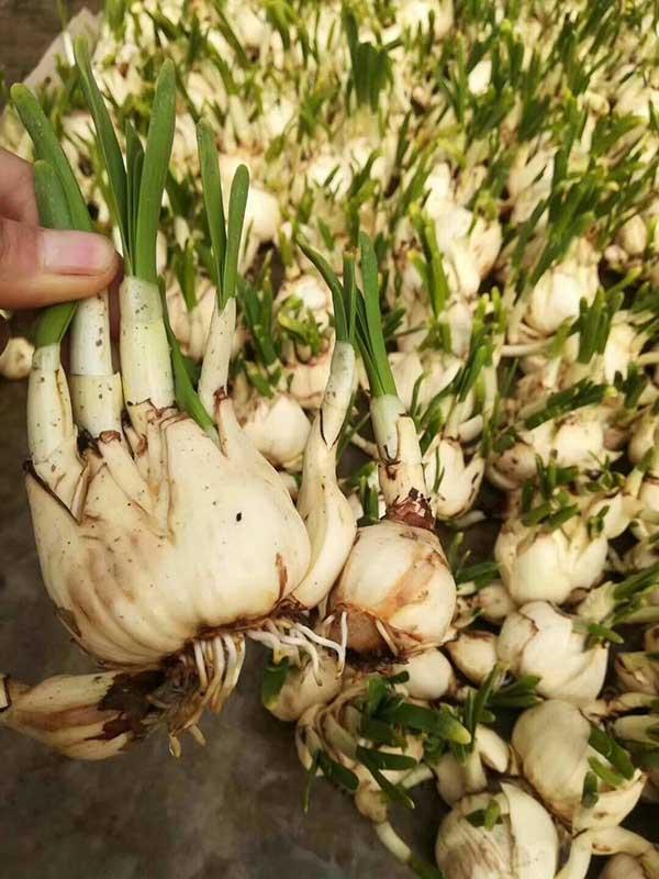 水仙花种球种根种苗