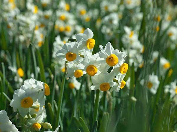 宿根植物水仙花