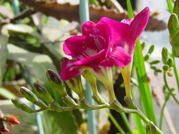 花卉植物香雪兰种苗种球