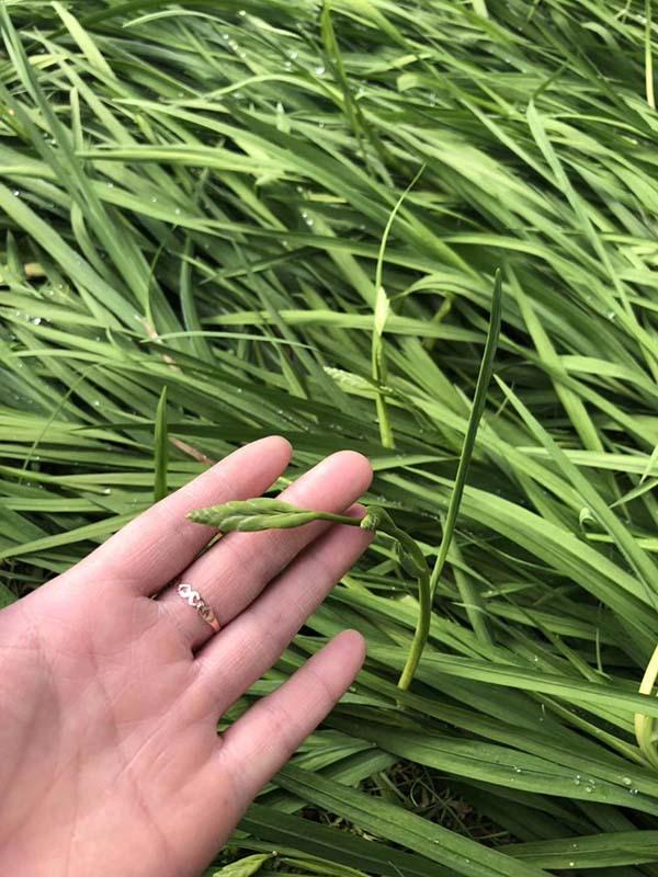 花卉植物香雪兰种苗