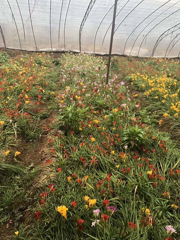花卉植物香雪兰
