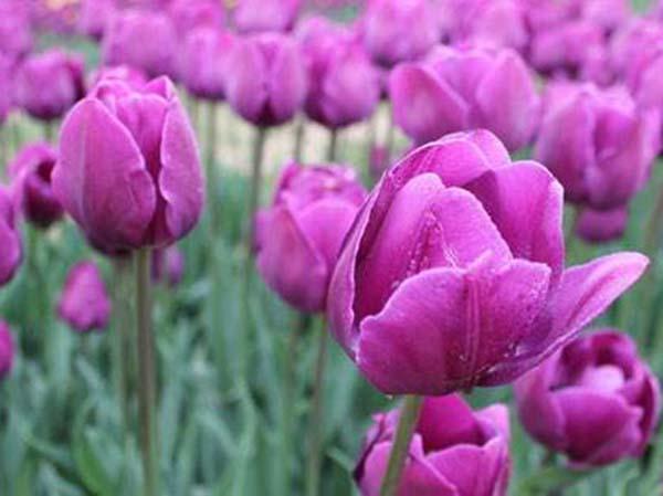 花卉植物郁金香
