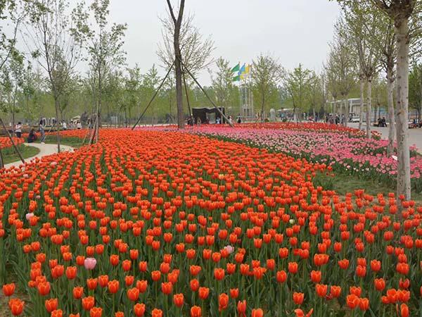 花卉植物郁金香种球种苗