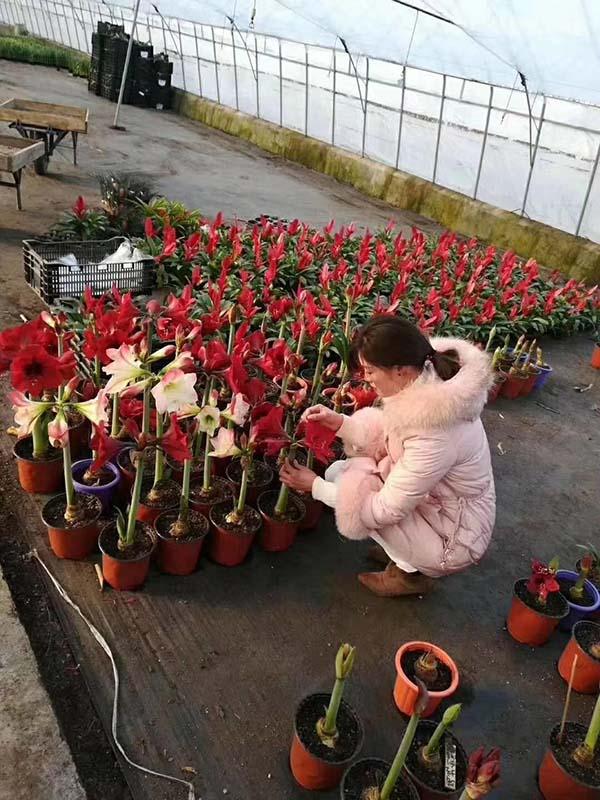 花卉植物朱顶红种苗种球