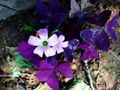 紫叶草种苗