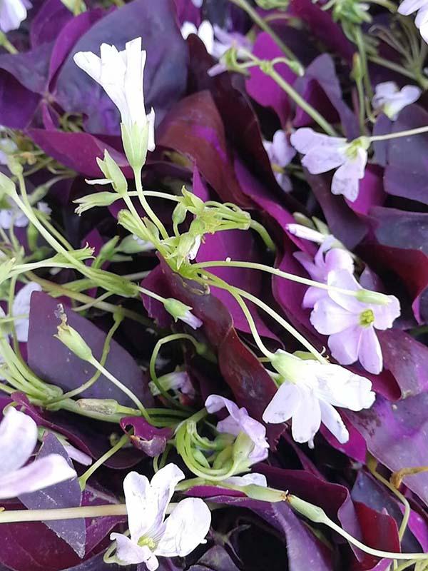 紫叶草紫叶炸酱草种苗种根种球