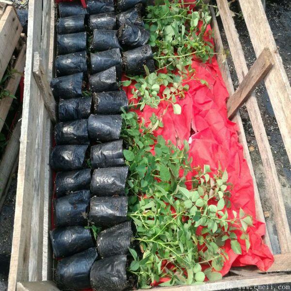 藤蔓月季小苗种苗