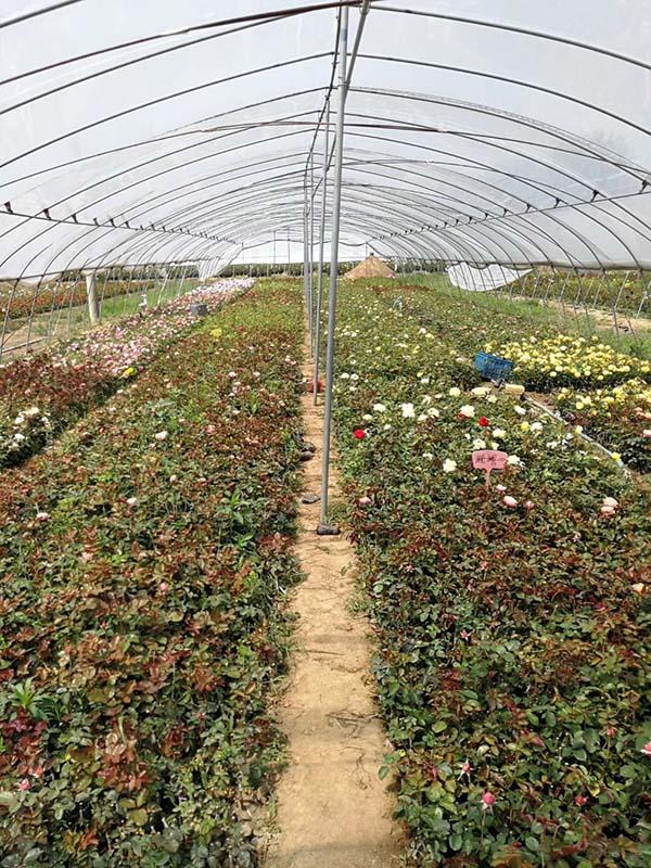 藤本月季小苗种苗