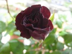黑色花朵的月季花