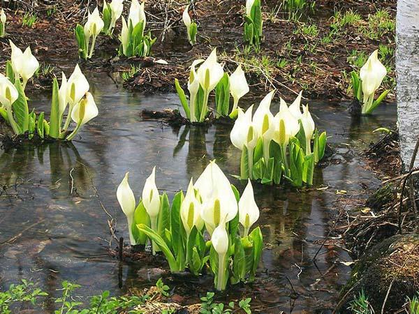 宿根植物花卉马蹄莲种球种苗