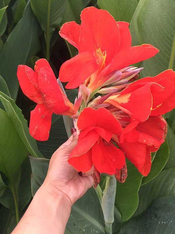 红花美人蕉种苗