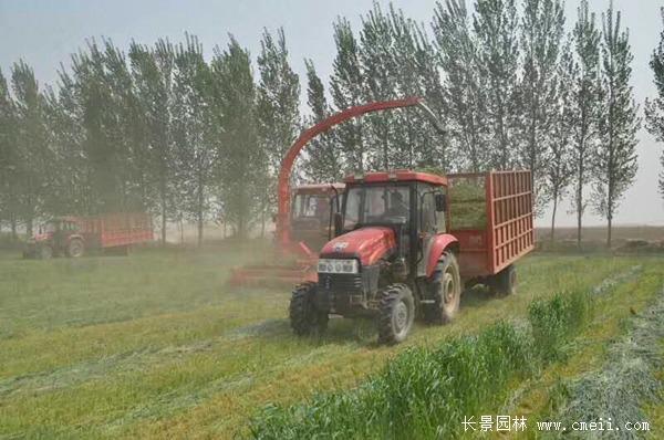 冬牧70黑麦草