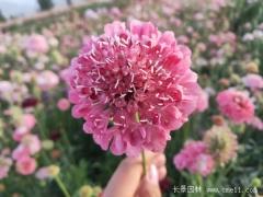 紫盆花种子