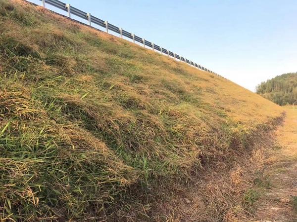 宽叶雀稗草种子