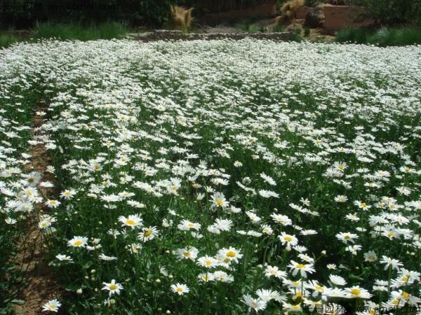 西洋滨菊种子发芽出苗开花图片