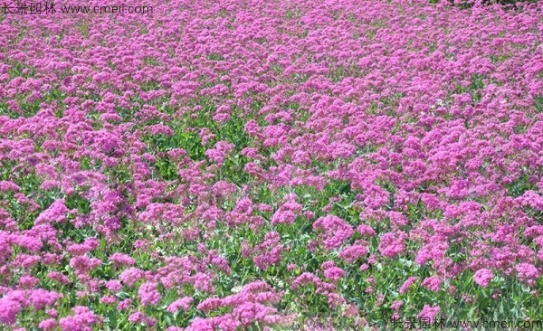 矮雪轮种子出苗发芽开花图片