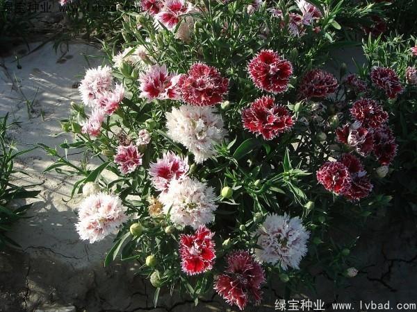 康乃馨种子