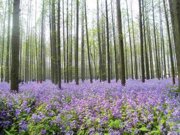 二月兰花海紫色蓝色