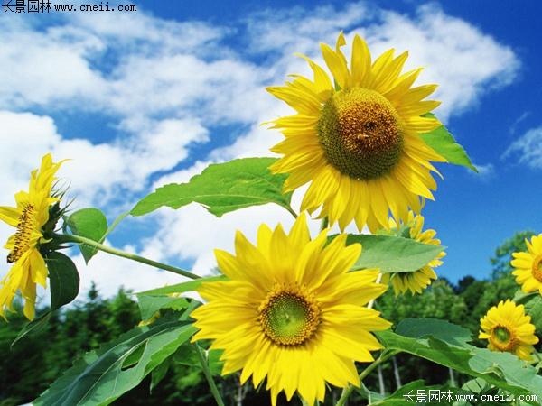 多头向日葵