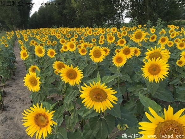 矮向日葵图片