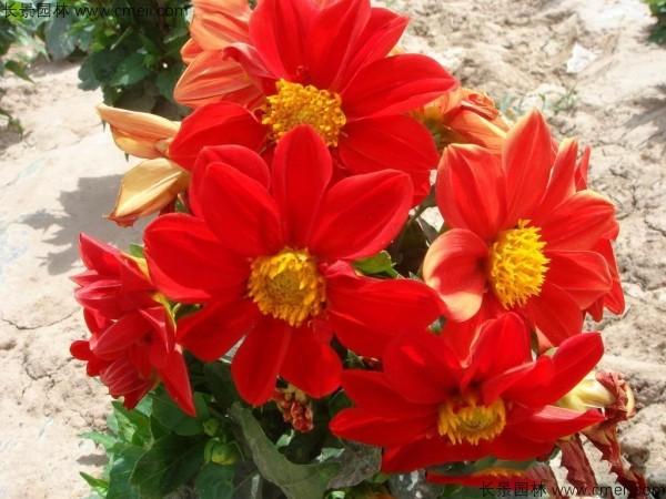 小丽花种子发芽出苗开花图片