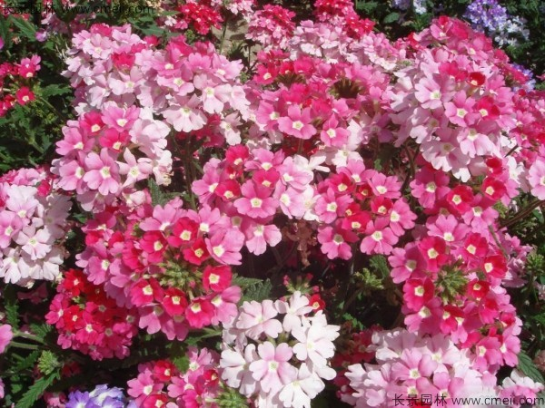美女樱种子发芽出苗开花图片