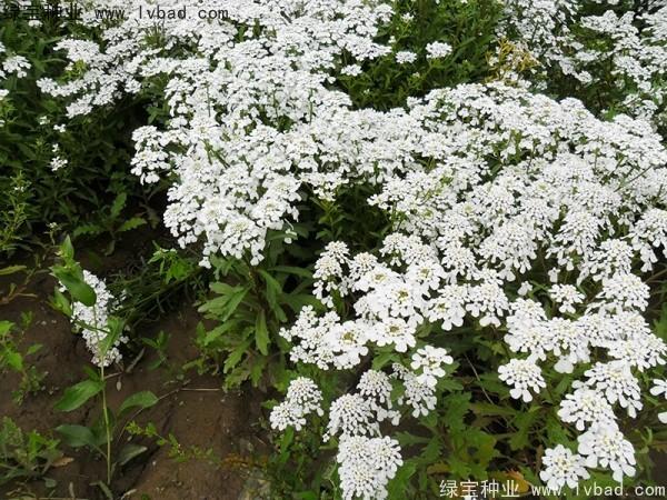 蜂室花种子