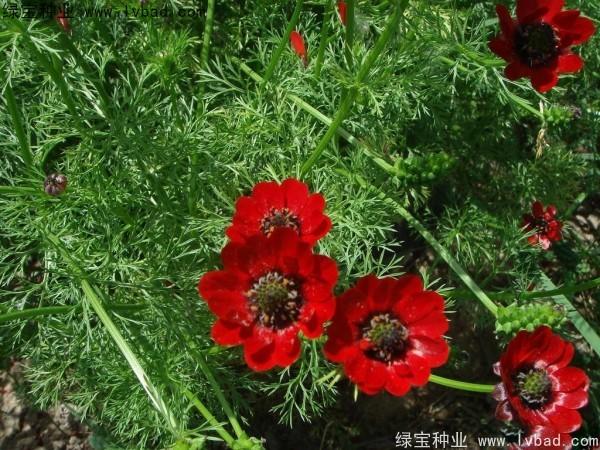 福寿花种子