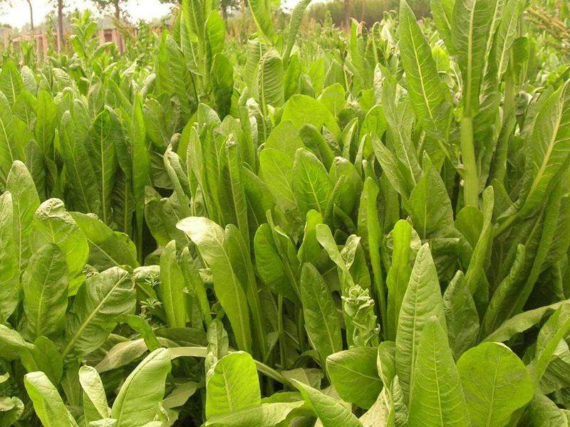 进口菊苣种子
