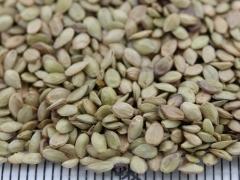 巴哈雀稗种子
