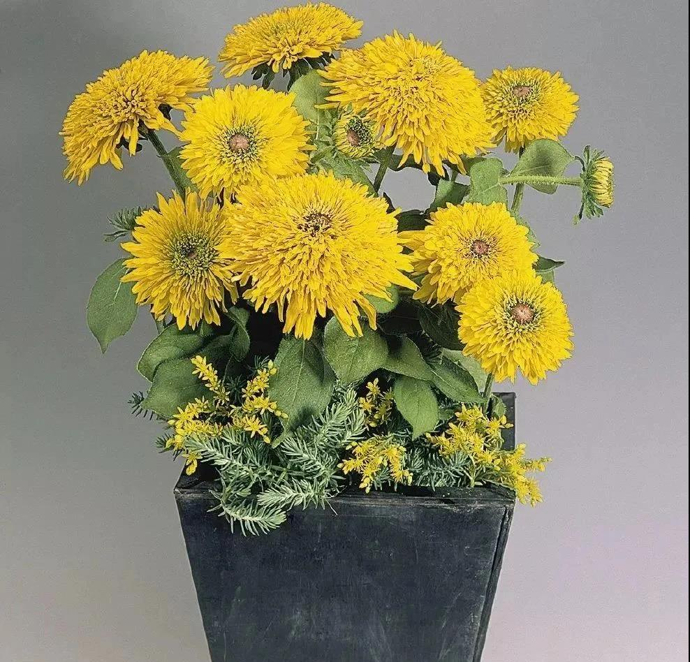 10个最热销的金光菊品种,惊艳了整个夏天