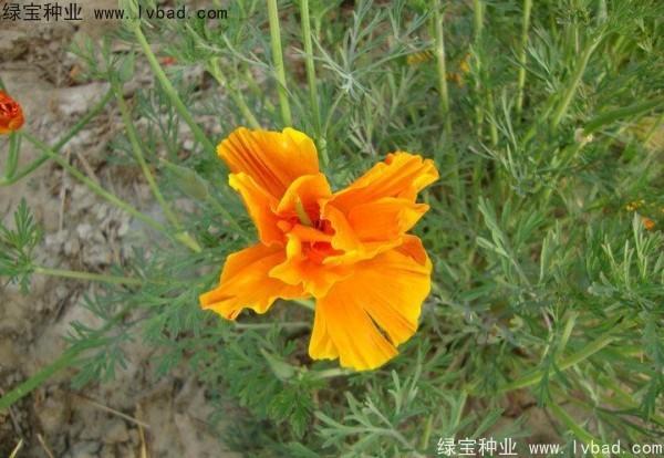 花菱草种子